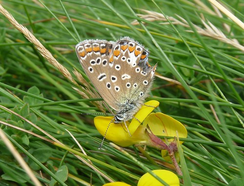 22234 - Common Blue butterfly