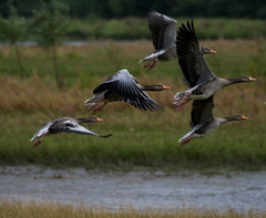 Greylag Goose airborne @ Bieschbosch National Park, Netherlands. (Richard Verroen) Tags: bird birds nationalpark vogels gans ganzen takeoff vogel biesbosch nationaalpark grauwegans watervogels grauweganzen