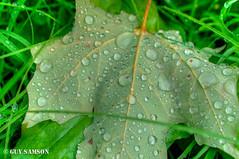 Rose du matin / Morning Dew (guysamsonphoto) Tags: leaf hdr feuille nikond90 nikkor1855vr guysamson