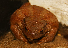 old toad! (Dickie-Dai-Do) Tags: toad