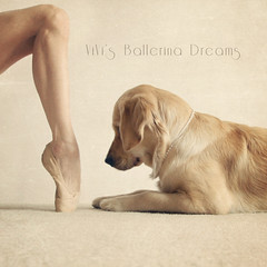ViVi's Ballerina Dreams: Standing On Pointe (VeryViVi) Tags: ballet cute english goldenretriever golden hilarious ballerina funny artistic creative adorable retriever amusing pointeshoes toeshoes babyballerina freedoflondon missvivigold veryvivi gelseykirklandsshoe vivisballerinadreams