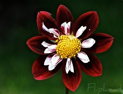 Crimson And Clover (flipkeat) Tags: dahlia flowers red white flower nature beautiful crimson closeup digital port dark outdoors flora different photos blossom unique sony awesome credit elegant mississauga homegrown dahlias bicolor reddahlia unqiue bicolour collarette plk maryeveline dschx1 crimsondahlia lookslikevelvet