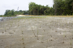 100804-A-5177B-006 (norfolkdistrict) Tags: environmental planning chesapeake erp armycorpsofengineers elizabethriver civilworks completedproject wetlandsrestoration saltmarshcordgrass scuffletowncreek
