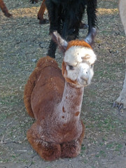 Aragon Alpacas