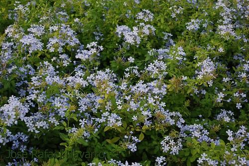 Flores ilicitanas