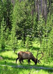 Elk II