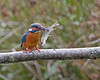 Whats he got to smile about (Andrew Haynes Wildlife Images) Tags: fish bird nature wildlife kingfisher pike warwickshire brandonmarsh ajh2008