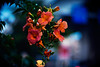 at the foot of an evening (moaan) Tags: life leica flower digital 50mm evening twilight flora dof bokeh dusk walk f10 utata m8 flowering noctilux stroll 2010 trumpetcreeper inlife leicam8 leicanoctilux50mmf10 gettyimagesjapanq1 gettyimagesjapanq2