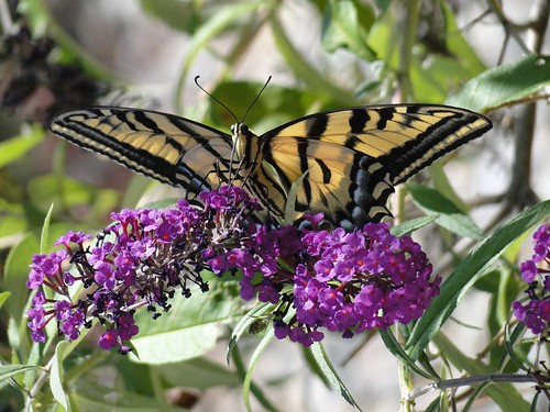 """swallowtail on buddleia • <a style=""""font-size:0.8em;"""" href=""""http://www.flickr.com/photos/10528393@N00/4891286185/"""" target=""""_blank"""">View on Flickr</a>"""