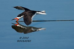 Black Skimmer (ROCKADEE_Two With Eagles 1951 / Rockey & Dee) Tags: black reflection newjersey fishing wildlife marsh skimmer rockey skimming specanimal edwinbforsythenwr naturerules rockadee birdinginthewild