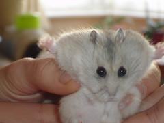 2275621366_7958d77c27_b[1] (~*HamsterQueen*~) Tags: cute fur furry soft softness ham cutie hamster cuteness hamsters hammy silky hammie hamy hamie
