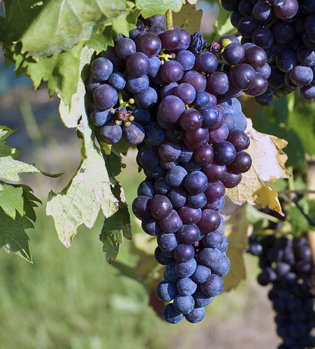 Tempranillo grapes