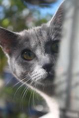 Amaranta (Yolo Axolotl) Tags: cats pets cat gatos kitties gatitos katzen mascotas chaton amaranta gattini yoloaxolotl