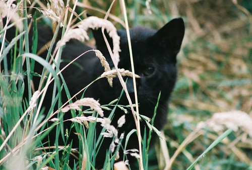 Hidden Black feral cat with one eye