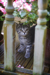 Outside (Lieutenant Tibs) Tags: flowers cute green cat canon garden 50mm kitten tabby pot deck 7d