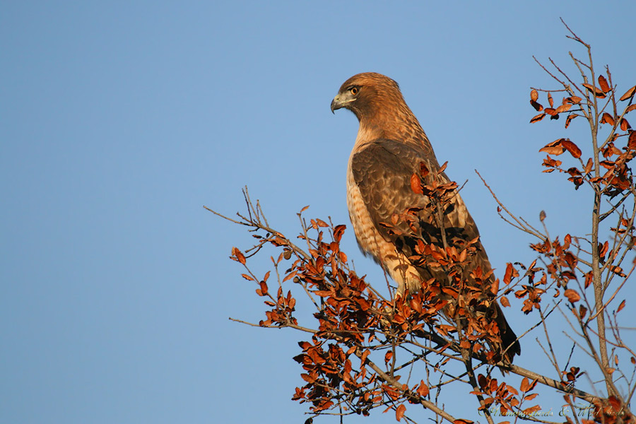 Red-tailed-Hawk-120907