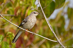 Northern Mockingbird (phil.jeffrey) Tags: usa bird nature canon franklin wildlife nj northernmockingbird mimic mimuspolyglottos avian sixmilerun wwwcatharuscom