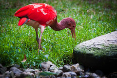 Scarlet Ibis (Eudocimus ruber) in Cerza (Monsieur Marty) Tags: red france bird animal scarlet rouge zoo wildlife ibis colored animaux animalplanet oiseau ruber eudocimus cerza complementarity chromatique complmentarit