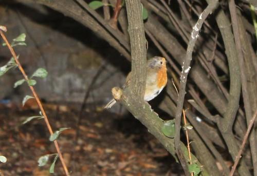 Robin in Greenwich Park
