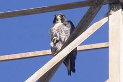 Peregrine Falcon-IMG_6156-crop (gimlack) Tags: birds peregrinefalcon falcoperegrinus 100400 alvisocalifornia vogonpoetry sikara