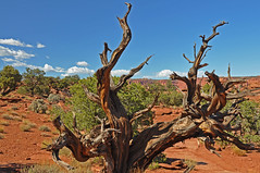 Directions (dbushue) Tags: southwest tree nature landscape dead scenery desert branches roots gnarly 2009 johnmuir capitolreefnationalpark naturesfinest coth supershot naturesgarden itsawonderfulworld mywinners theunforgettablepictures absolutelystunningscapes damniwishidtakenthat dragondaggerphoto flickrclassique yourwonderland coth5 mygearandmepremium mygearandmebronze mygearandmesilver mygearandmegold mygearandmeplatinum photocontesttnc11 dailynaturetnc11