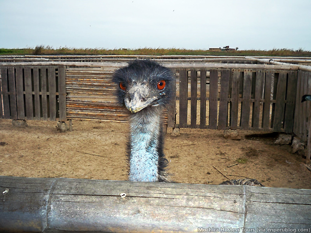 Hungry Emu