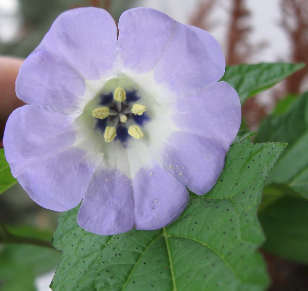 spike plant flower - nicandra physaloides - nightshade