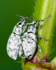 Mating Broad nosed beetles (Ophryastes varius) (Simon Rivers Photography) Tags: macro nature animals bug insect wildlife pest weevil nikkor105mmf28gvrmicro nikond300s
