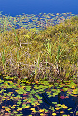 Lily Pads in Bog