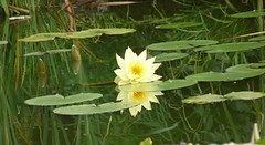 (The Visual Poet) Tags: reflection pond waterlily violin instrumental mulan vanessamae