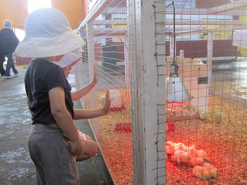 Checking out the baby chicks