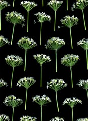 33290 Allium tuberosum (horticultural art) Tags: flowers pattern negativespace horticulture allium flowerhead garlicchive alliumtuberosum flowercluster abigfave horticulturalart