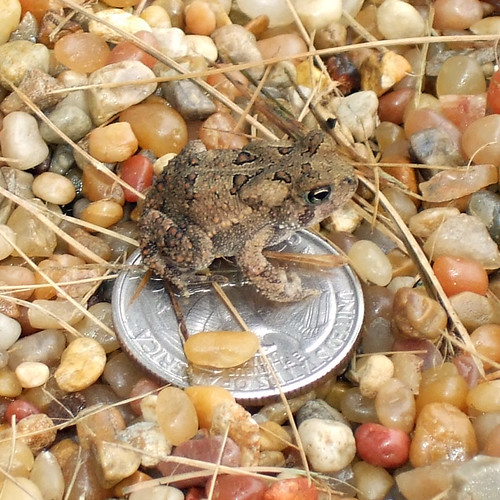 Toad on a quarter