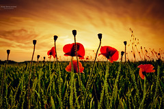 Everybody needs a dream (Marc Benslahdine) Tags: explorer explore ciel poppies nuages frontpage campagne champ coucherdesoleil coquelicot lightroom coquelicots explored tamronspaf1750mmf28xrdiii canoneos50d marcopix tripax marcbenslahdine champsdecoquelicot wwwmarcopixcom wwwfacebookcommarcopix gettyimagesfranceq1 marcopixcom