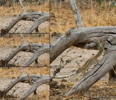 Striped Bush Squirrel - Selous Game Reserve, Tanzania
