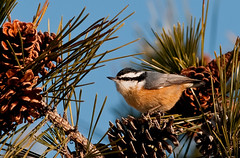 Caught Red-breasted (martytdx) Tags: male birds lifelist january nj nuthatch sittacanadensis longbranch sevenpresidentspark redbreastednuthatch coldashell sitta sittidae