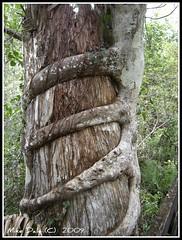 A strangler is loose, deep in the swamp (MikeDalePhotos..... 300,000 + views ==> Thank you) Tags: beach mike nikon dale florida photos collierseminolestatepark stranglerfiginbigcypressswamp