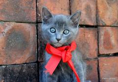 Lorenzo (Pablo Canesa) Tags: blue azul cat lindo gato lorenzo kitties russian korat chartreux ruso