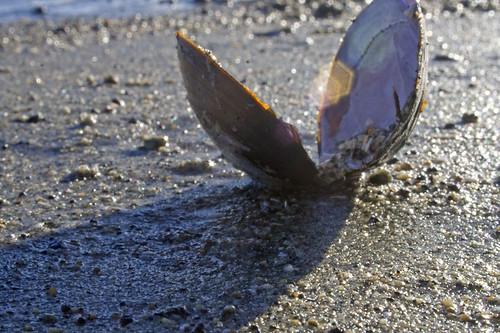 manila clam shell