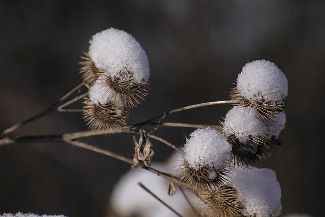 snow burrs