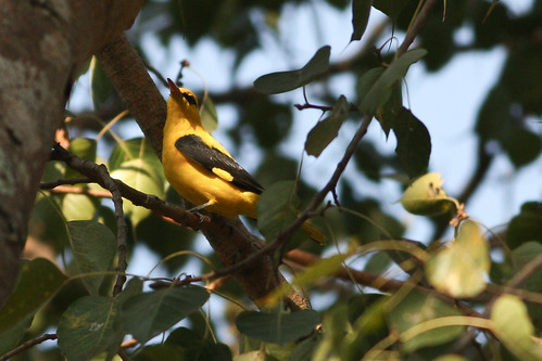 golden oriole spotted at Lalbagh