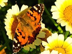 Oranges And Lemons (Oldt1mer - Keith) Tags: flowers orange detail nature yellow butterfly insect close egypt antennae elgouna abutigmarina mygearandme mygearandmepremium mygearandmebronze mygearandmesilver mygearandmegold