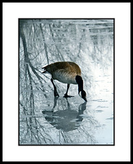 (Anthony D. Cordova) Tags: winter reflection bird nature geese wildlife goose
