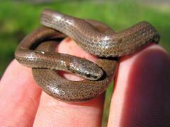 Sharp-tailed Snake (Contia tenuis)
