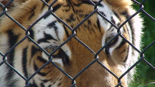 сумний тигр