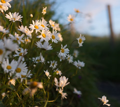 Daisies (jasty78) Tags: daisy flowers morning goldenhour sunrise nikon d7200 sigma350mmf14 14mm bokeh