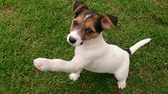 Minnie showing off (2months) (wazzle1) Tags: jackrussellterrier puppy mammels cute dog paw smart clever eyes ears
