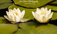 """""""Water lilies """" (EvaOlsenPhotography) Tags: norway bergen macro upclose natural white waterlilies nature water flower photography photographer photo macrophotography"""