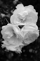 The milk-white rose (Gerry Simons Photography) Tags: white rose flower garden scent soft nature rosaceae plant rosa fuji x100f blackandwhite
