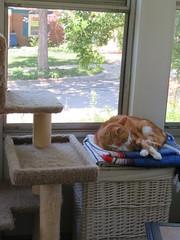 Afternoon Torpor (andrea z) Tags: cat graycat orangecat percy pete newton boneless